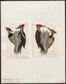 Dryocopus lineatus - 1700-1880 - Print - Iconographia Zoologica - Special Collections University of Amsterdam - UBA01 IZ18700163.tif