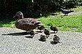 Duck's (15293583065).jpg