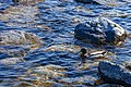 Duck (27479068017).jpg