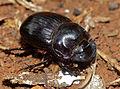 Dung Beetle (Copris sp.) (11907687024).jpg