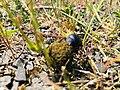 Dung beetle in İzmir Province.jpg