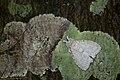 Dura alba (28960981938).jpg