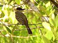 Dusky-capped Flycatcher - Flickr - treegrow.jpg