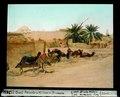 ETH-BIB-El Oued, Kamele und kleine Oase mit Brunnen-Dia 247-03821.tif