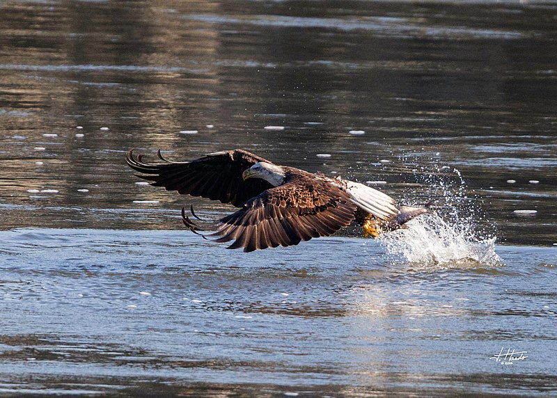 File:Eagles conowingo (17112057753).jpg