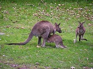 Где находится влагалище у кенгуру фото фото 600-581