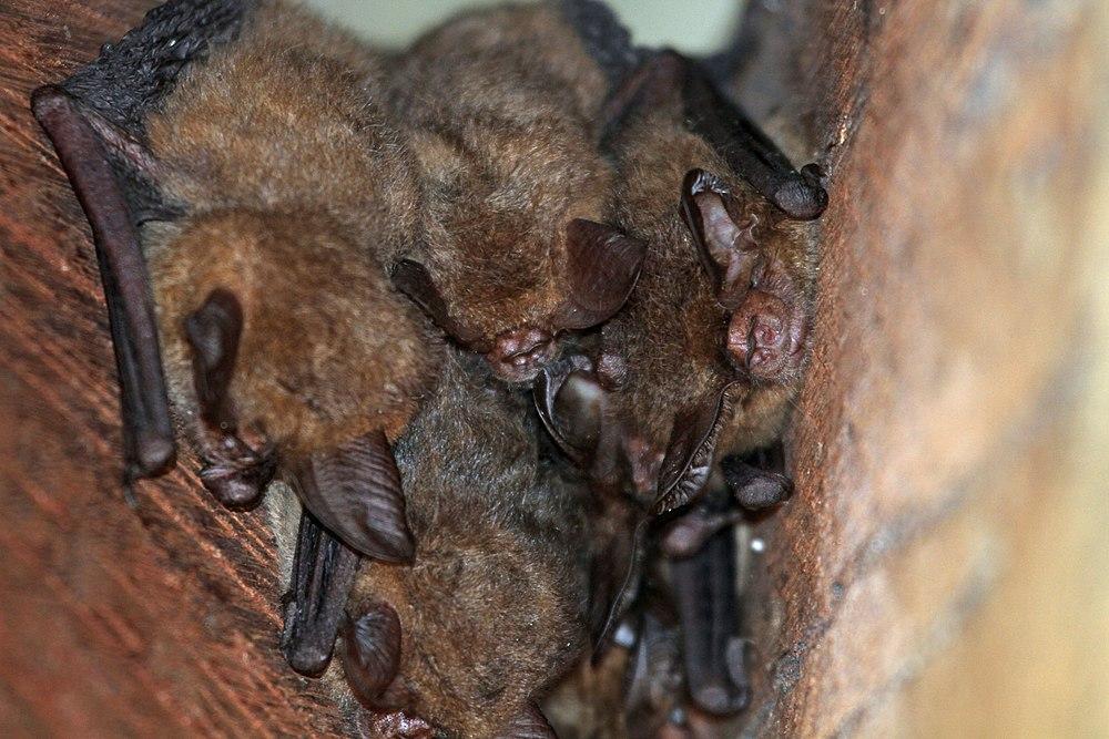 The average litter size of a Eastern long-eared bat is 2