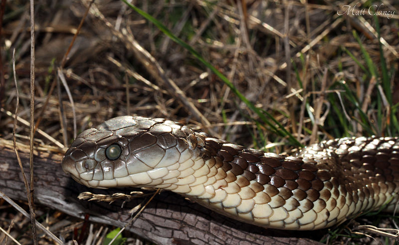 File:Eastern Tiger Snake (Notechis scutatus) (8636456735).jpg