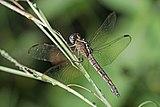 Eastern blacktail (Nesciothemis farinosa) female 2.jpg