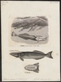 Echeneis remora - 1700-1880 - Print - Iconographia Zoologica - Special Collections University of Amsterdam - UBA01 IZ13500250.tif