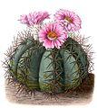 Echinocactus horizonthalonius BlKakteenT117.jpg