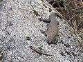 Egernia cunninghami (37786023152).jpg