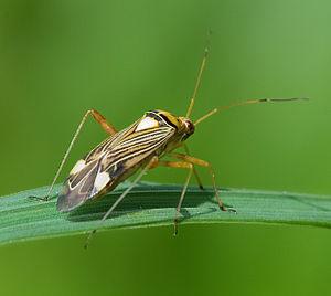 Miridae - Rhabdomiris striatellus