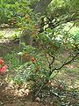 Elaeagnus multiflora.JPG