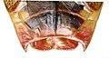 Elasmostethus minor f genitals.jpg