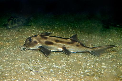 Elephant shark melb aquarium