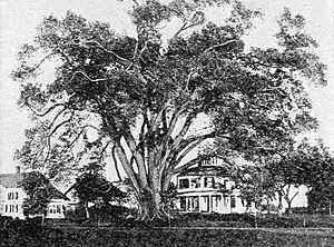 Wethersfield, Connecticut - Image: Elm Tree in Wethersfield, Connecticut (1917)