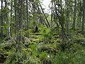 Emberiza rustica habitat 3.JPG