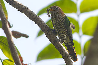 Mahananda Wildlife Sanctuary - Image: Emerald Cuckoo Mahananda WLS West Bengal India 02.11.2015