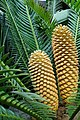 Encephalartos altensteinii kz2.jpg