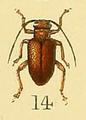 Entelopes shelfordi Shelford 1902.png