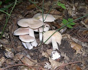 Entoloma sinuatum group.JPG