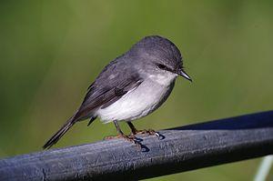 White-breasted robin - In Western Australia