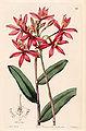 Epidendrum cinnabarinum - Edwards vol 28 (NS 5) pl 25 (1842).jpg