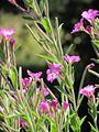 Epilobium hirsutum 20110625 110134 Berango 43p345972N 2p980778W r.jpg