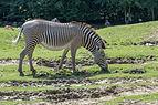 Equus grevyi (Zèbre de Grévy) - 388.jpg