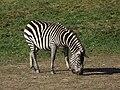Equus quagga granti - Opole.JPG