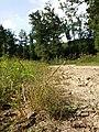 Eragrostis albensis sl28.jpg
