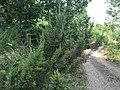 Erica arborea - Tree heath 01.jpg