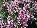 Erica multiflora Mallorca.jpg