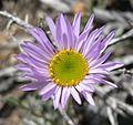 Erigeron argentatus 10.jpg