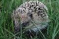 Erinaceus europaeus New Zealand Hedgehog (cropped).jpg