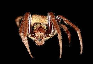 Australian garden orb weaver spider - Image: Eriophora transmarina front