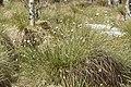 Eriophorum vaginatum kz08.jpg
