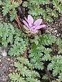Erodium cicutarium 111033748.jpg
