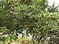 Erythroxylum monogynum-1-mundanthurai-tirunelveli-India.jpg
