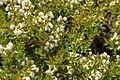 Escallonia alpina-CTJ-IMG 7214.jpg