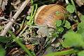 Escargot - Helix pomatia (13800926915).jpg