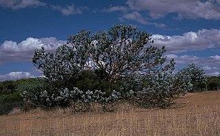 <i>Eucalyptus macrocarpa</i> species of plant