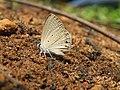 Euchrysops cnejus Fabricius, 1798 – Gram Blue at Aralam Wildlife Sanctuary 2016 (3).jpg