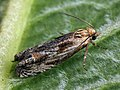 Eucosma cana - Hoary bell - Глазковая листовёртка бодяковая (41234835122).jpg