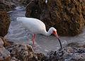 Eudocimus albus -Bonita Beach, Bonita Springs, Florida, USA-8.jpg