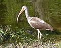 Eudocimus albus -Lake Trafford, Florida, USA -juvenile-8.jpg
