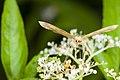 Eumelea ludovicata (27723838913).jpg