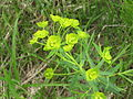 Euphorbia esula 1-eheep (5097293277).jpg