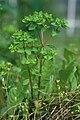 Euphorbia peplus Jena Germany.jpg